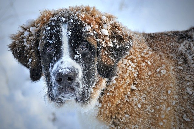 St Bernard in the snow Image by ClaudiaWollesen from Pixabay